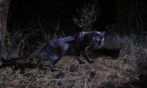 Spotted! The Sri Lankan Black Leopard in the Central Hills